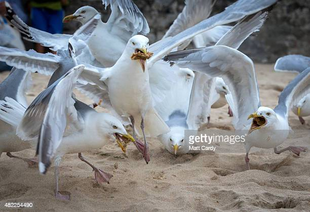 A pack of seagulls squabble over discarded food left on the beach at St Ives on July 28 2015 in Cornwall England Recent attacks by herring gulls on...