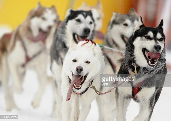 A pack of Siberian Husky cross the finish line during the second day of sled dog sprint at the European championship in central Slovakia's resort of...