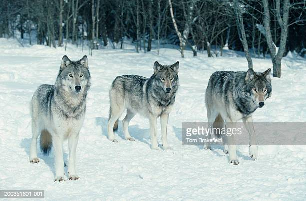 Pack of wolves at edge of snowy forest