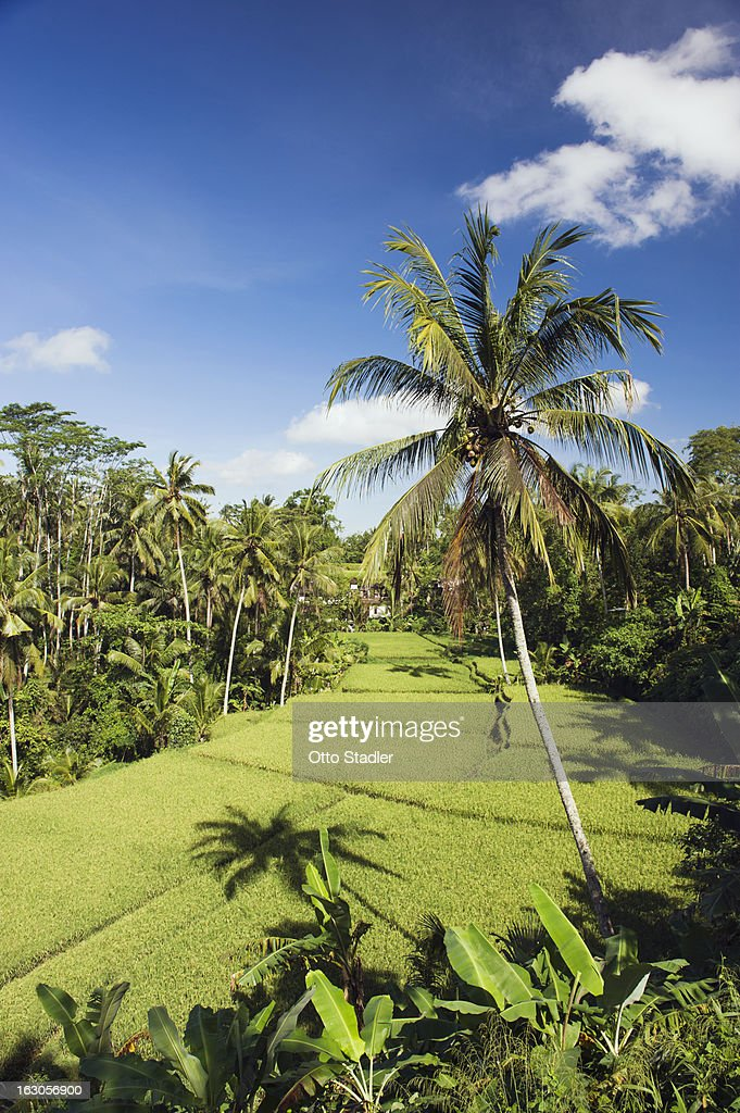 Paddy field and palm trees : Stock Photo