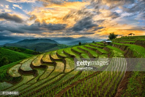 Paddy field, Chiang Mai, Thailand