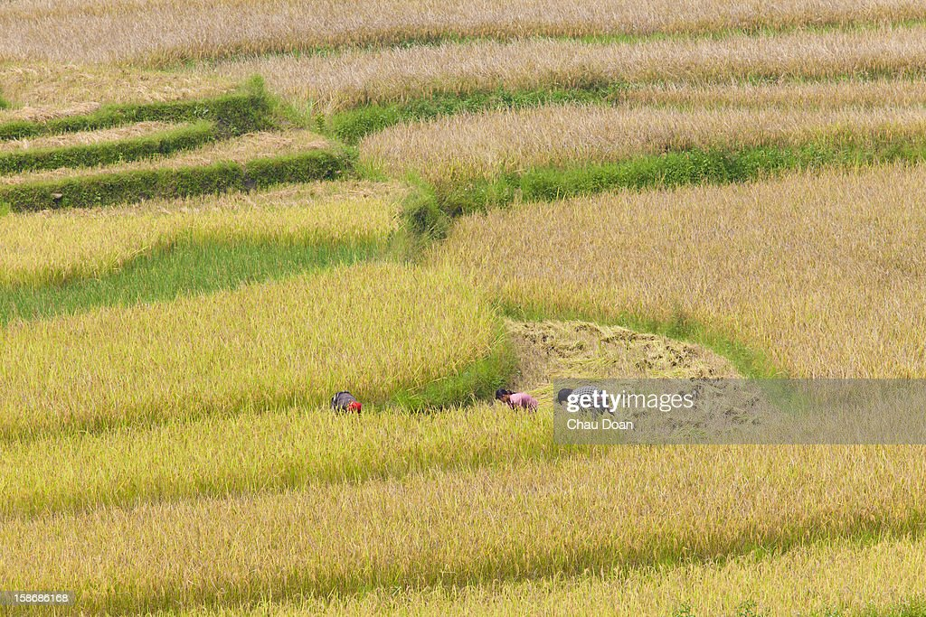 Paddy field in Yen Bai which is about 300 km north of Hanoi..