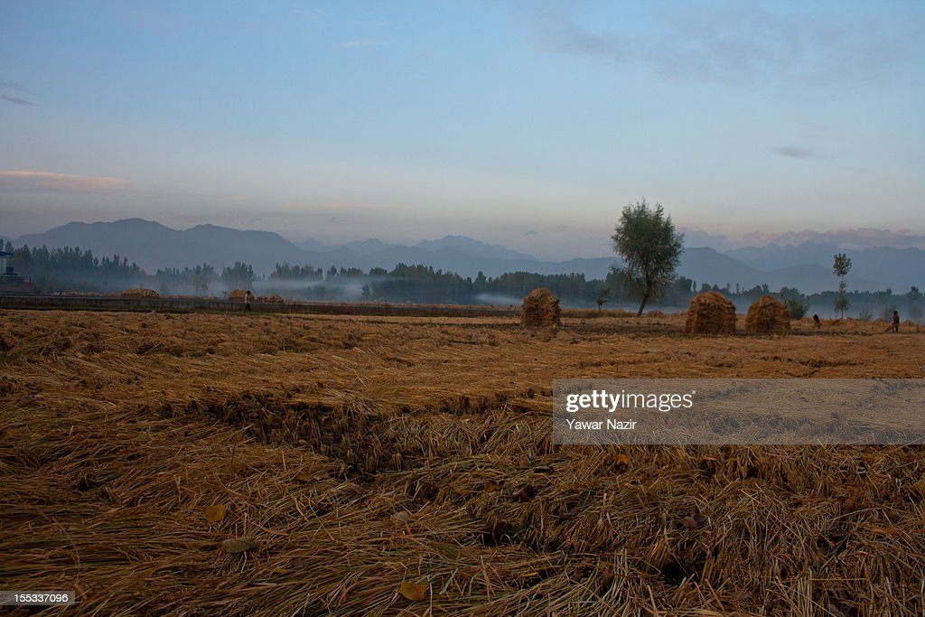 Paddy grass is piled up by the villages after harvesting on November 3, 2012 in Pahalgam, south of Srinagar, the summer capital of Indian administered Kashmir, India. Pahalgam, the Village of Shepherds, is a popular tourist destination where every year large numbers tourists visit from India and abroad. Tourists enjoy long hikes throughout the areas of Lidderwat, Kolohoi Glacier, Sonmarg and various other mountains around Pahalgam.