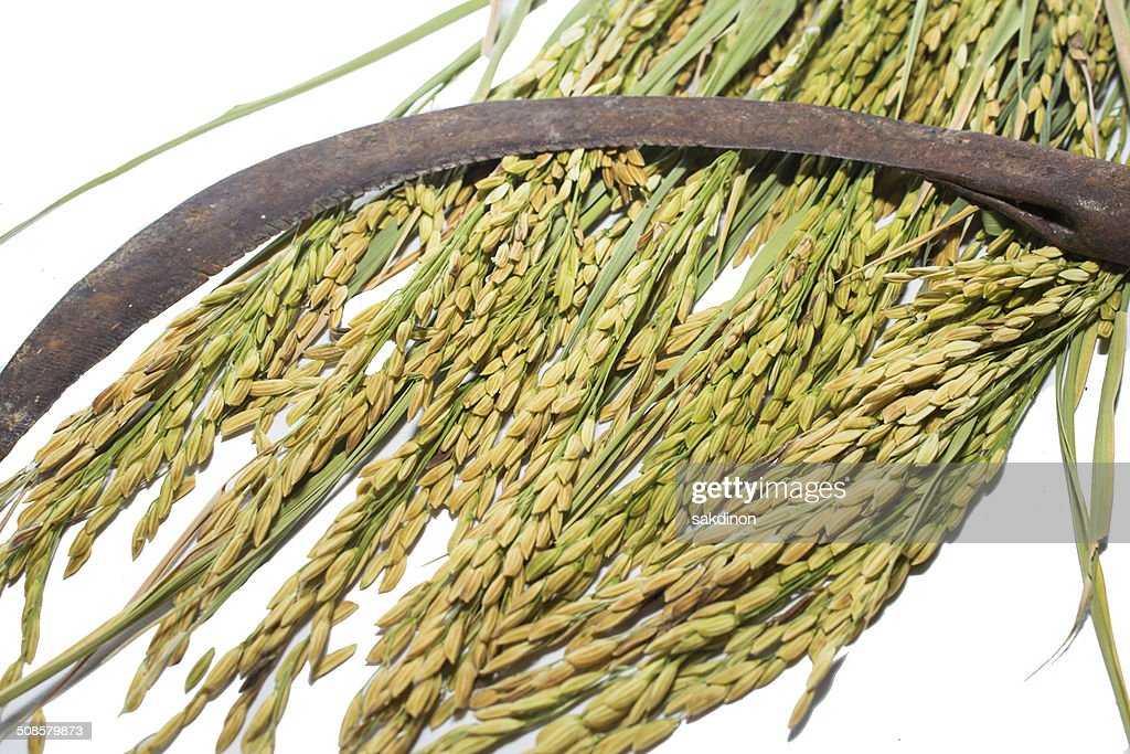 Paddy rice : Stock Photo