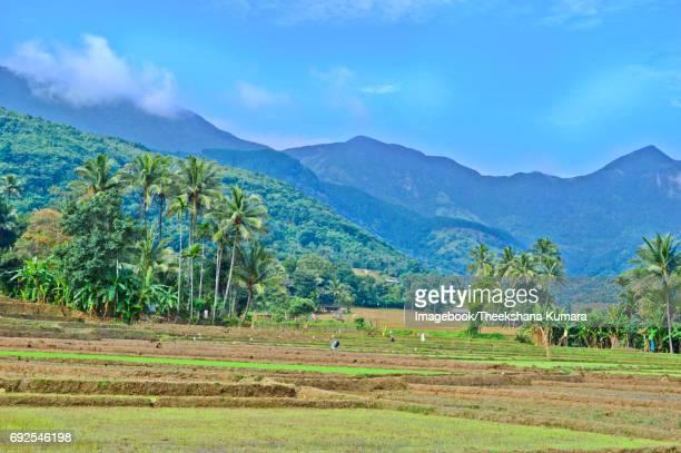 Paddy-field in village of Sri Lanka