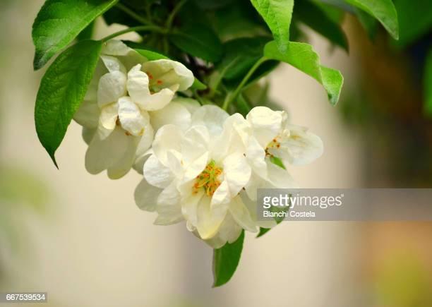 Paeoniaceae flower blossom