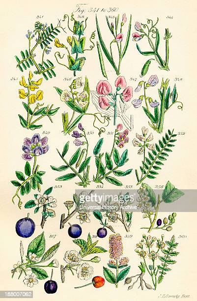 Page Of Colour Illustrations From British Wild Flowers After A Work By JE Sowerby And CP Johnson