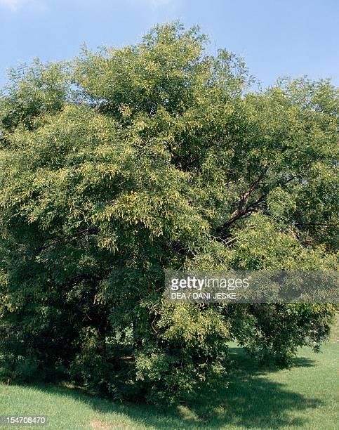Pagoda tree FabaceaeLeguminosae