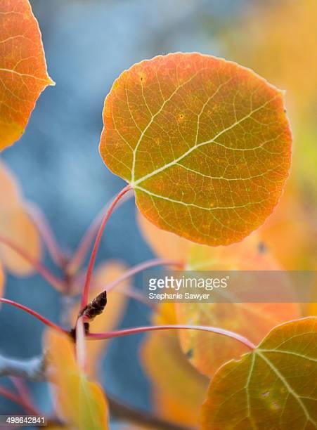 Painted aspen leaf