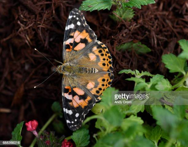 A painted lady butterfly spreads it's wings at the Butterfly Pavilion and Denver Botanic Gardens fourth annual habitat experience Butterflies at...
