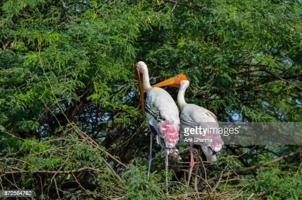 Painted Stork (Mycteria leucocephala) -4