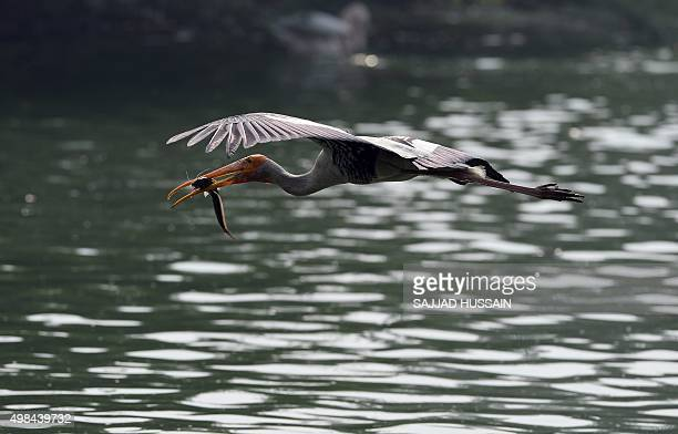 A painted stork carries a fish as it flies at the National Zoological Park in New Delhi on November 23 2015 AFP PHOTO / SAJJAD HUSSAIN