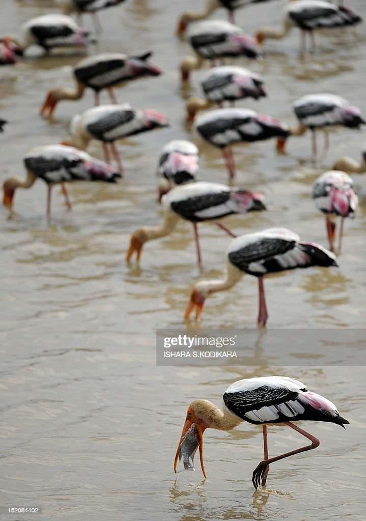 A painted stork catches a fish in the Yala National Park in the southern district of Yala around 250 kms southwest of Colombo on September 16 2012...
