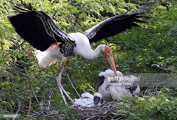 Painted Storks with their chicks in Delhi Zoo on October 28 2010 in New Delhi India
