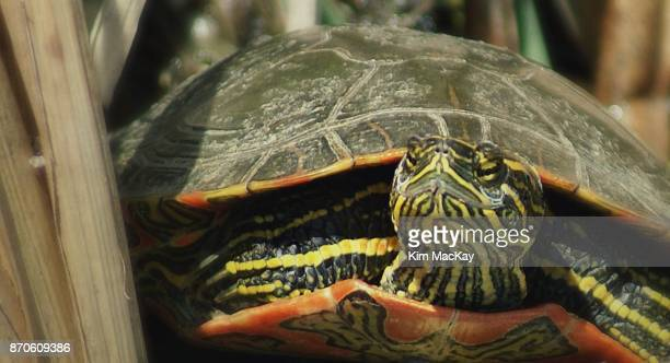 Painted Turtle sunbathing, close-up