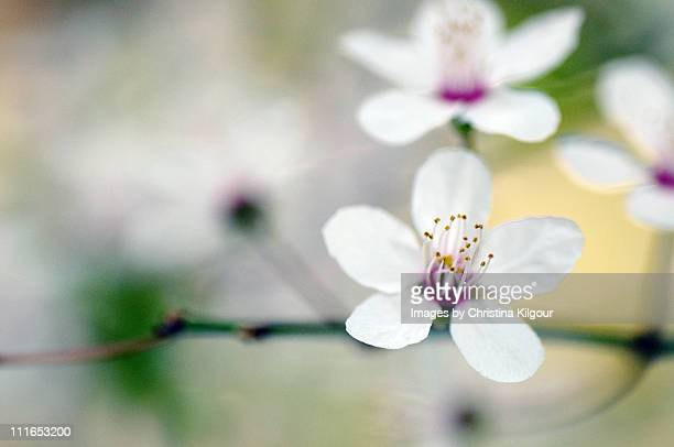 Painted white blossom
