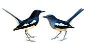 Pair male and female of Oriental Magpie Robin, beautiful common black and white birds isolated on white background
