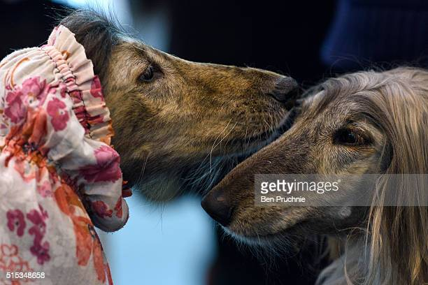 A pair of Afghan Hounds sit on a bench on the final day of Crufts 2016 on March 13 2016 in Birmingham England First held in 1891 Crufts is said to be...