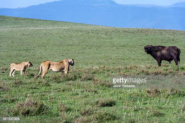 A pair of African Lions stalking an African Buffalo to see if it's vulnerable to be killed and eaten.