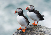 Pair of Atlantic puffin (Fratercula arctica) resting on a ledge at the top of a cliff. Papa Westray, Orkney Islands, Scotland.