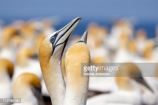 Pair of Australasian Gannets : Stock Photo