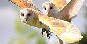 pair of barn owl birds close up