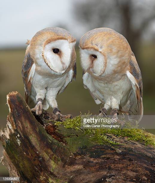 Pair of Barn Owls