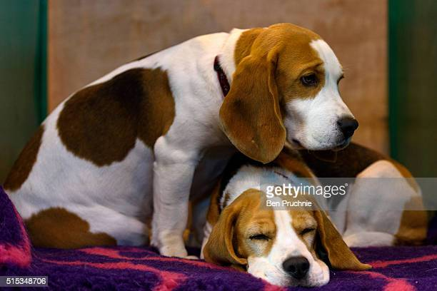 A pair of Beagles rest on a bench on the final day of Crufts 2016 on March 13 2016 in Birmingham England First held in 1891 Crufts is said to be the...