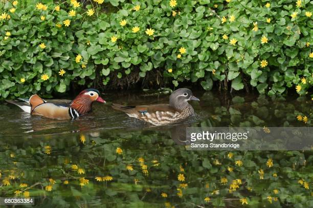 A pair of beautiful Mandarin Ducks (Aix galericulata) swimming in a stream with a background of yellow celandine flowers.