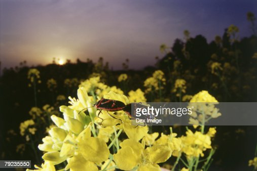 A pair of beetles mating on yellow flowers : Stock Photo