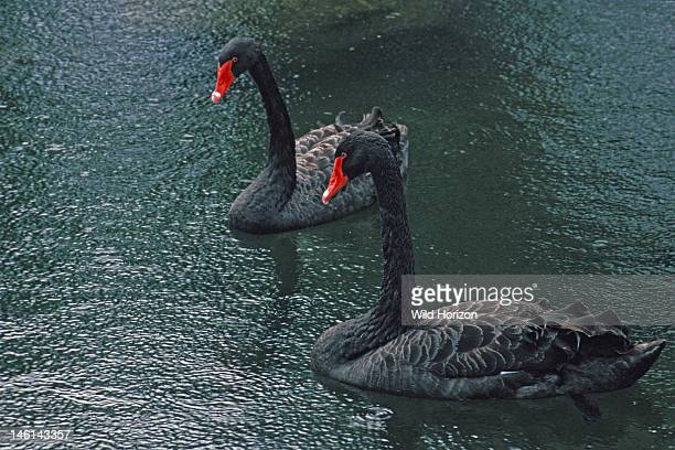 Pair of black swans Cygnus atratus Species native to Australia and the official state emblem of Western Australia On hotel grounds Kauai Hawaii USA...