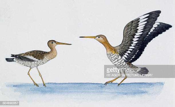 Pair of Blacktailed Godwits during courtship display Scolopacidae drawing