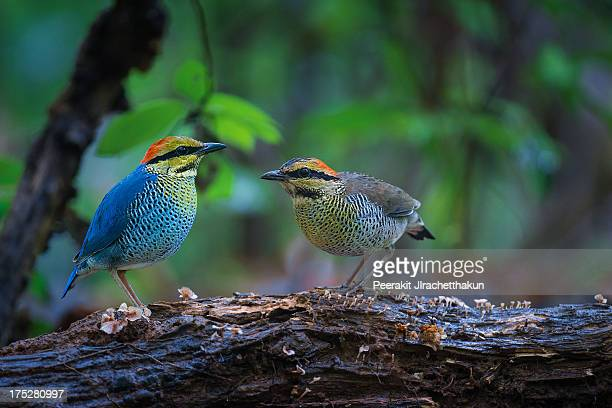 Pair of Blue Pitta