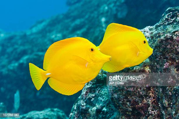 Yellow tang stock photos and pictures getty images for Yellow tropical fish