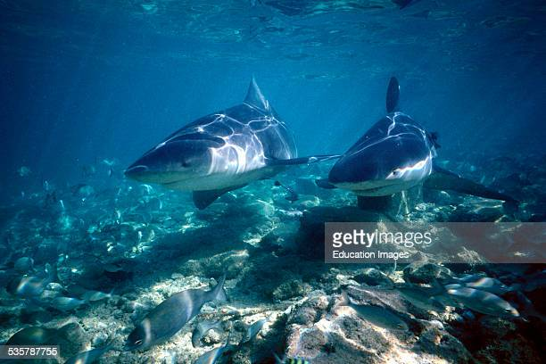Pair of Bull sharks Carcharhinus leucas in shallow water in search of food on beach of Walker's Cay the northernmost of the 700 Bahamas Islands...