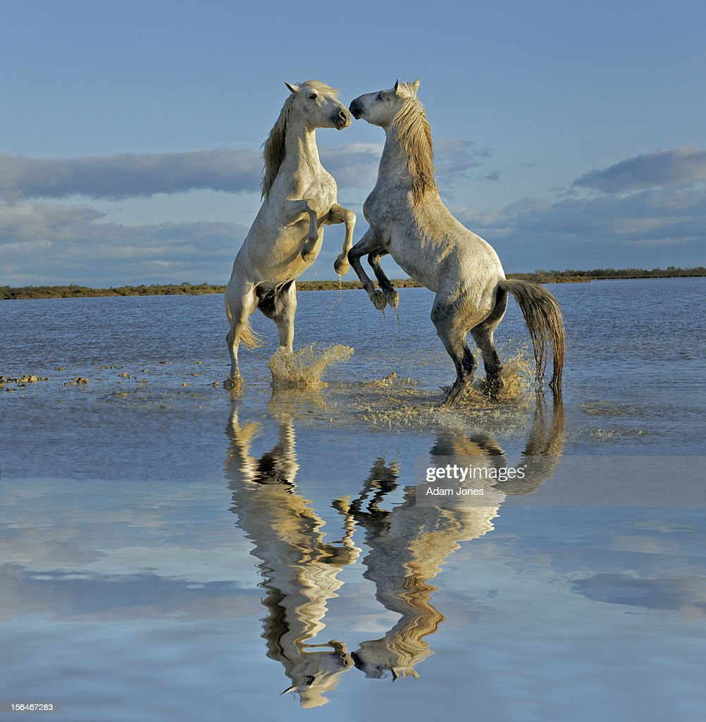 Pair of Camargue horse stallions fighting : Stock Photo