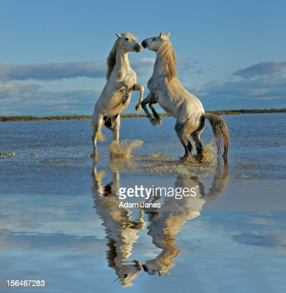 Pair of Camargue horse stallions fighting