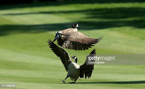 A pair of Canada Geese enjoy the afternoon sun on the 10th hole during round one of the World Golf Championship Cadillac Match Play at TPC Harding...