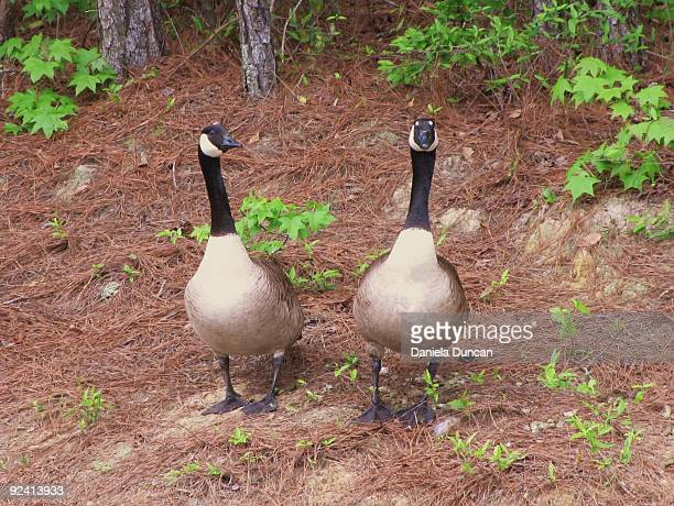 A pair of Canada geese.