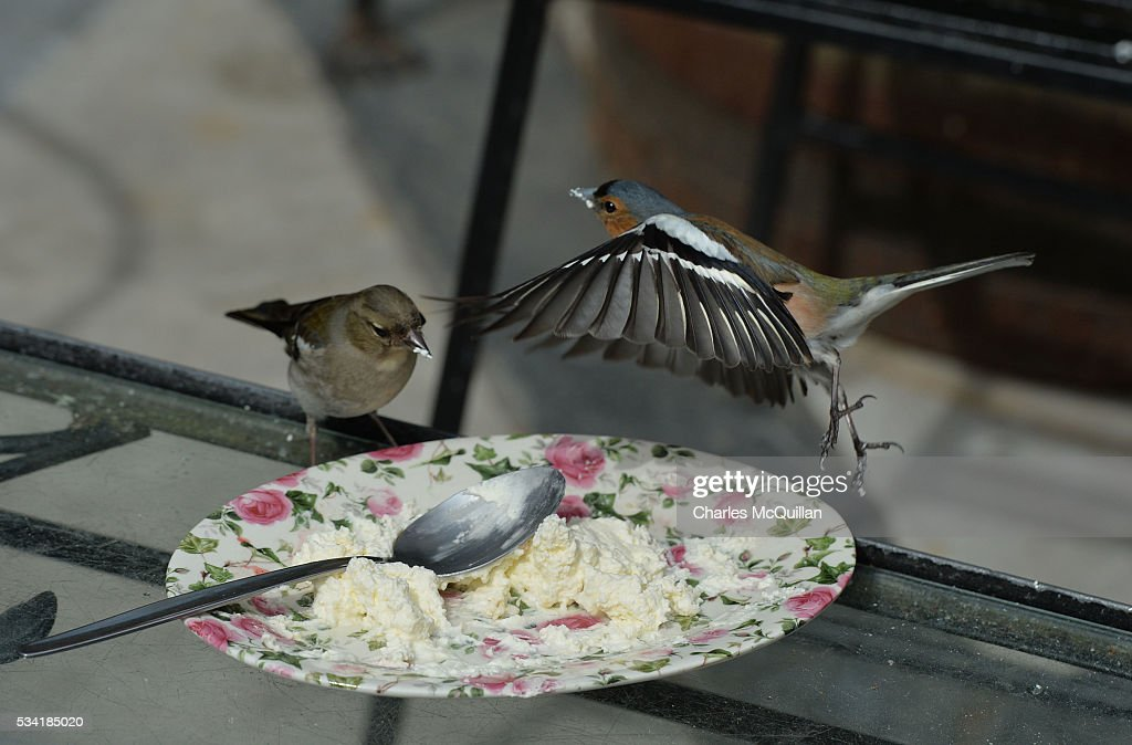 A pair of chaffinches make the most of some leftover high tea cream in the walled garden of Glenveagh Castle as Prince Charles, Prince of Wales and Camilla, Duchess of Cornwall visited Glenveagh Castle on May 25, 2016 in Letterkenny, Ireland. The royal couple are on a one day visit to Ireland having spent two days across the border in Northern Ireland. It is their first trip to Donegal.