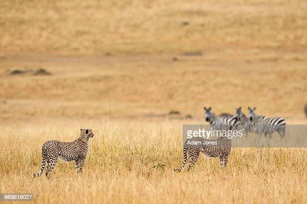 Pair of Cheetah brothers looking at zebras