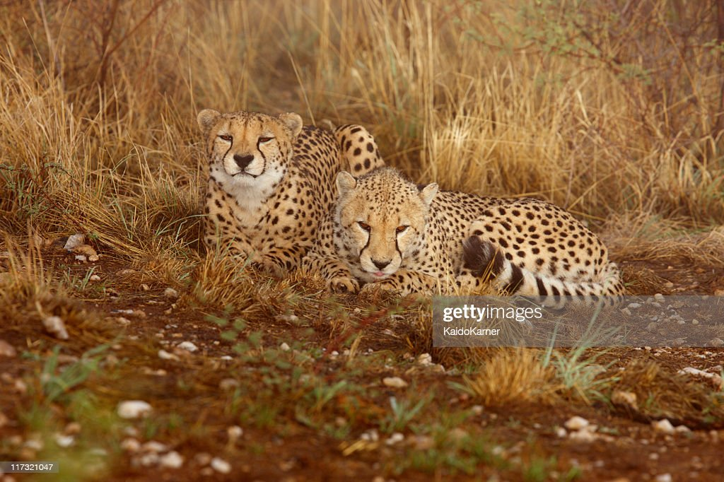 Pair of cheetah having a rest