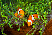 Pair of Clown Anemonefish, Solomon Islands