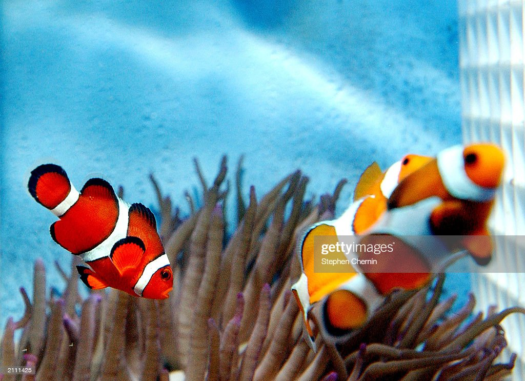 A pair of Clownfish is seen June 25 2003 at New World Aquarium in New York City As a result of the tremendous success of the animated movie 'Finding...