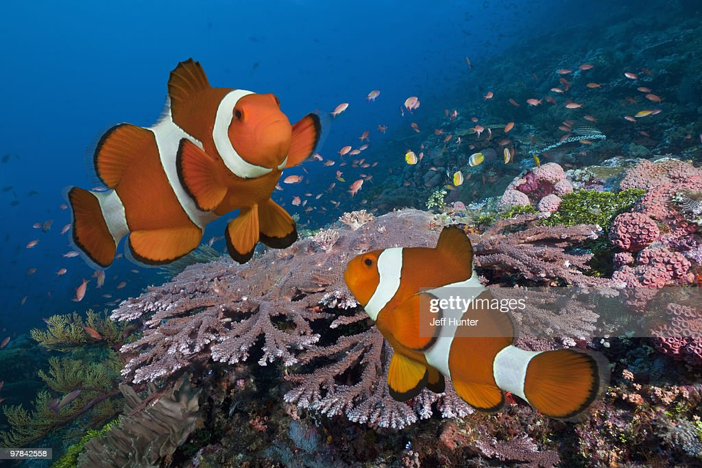 Pair of Clownfish on tropical coral reef