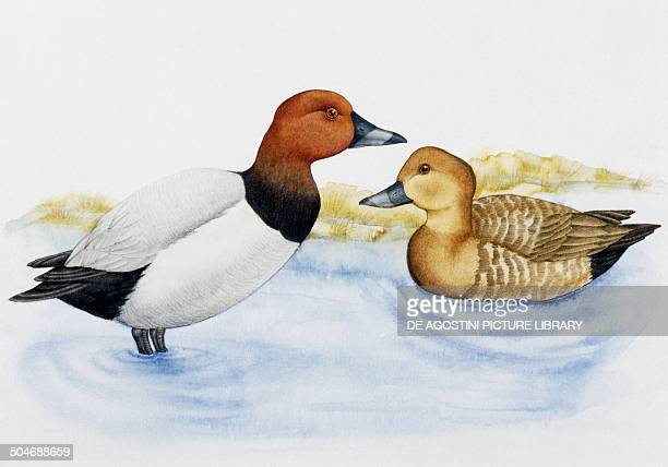 Pair of Common Pochards Anatidae drawing