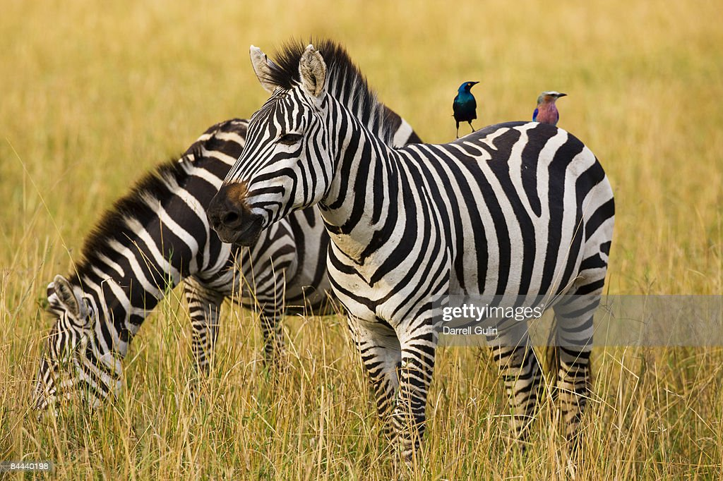 Pair of Common Zebras with starling & Roller : Stock Photo