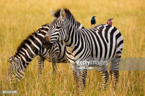 Pair of Common Zebras with starling & Roller