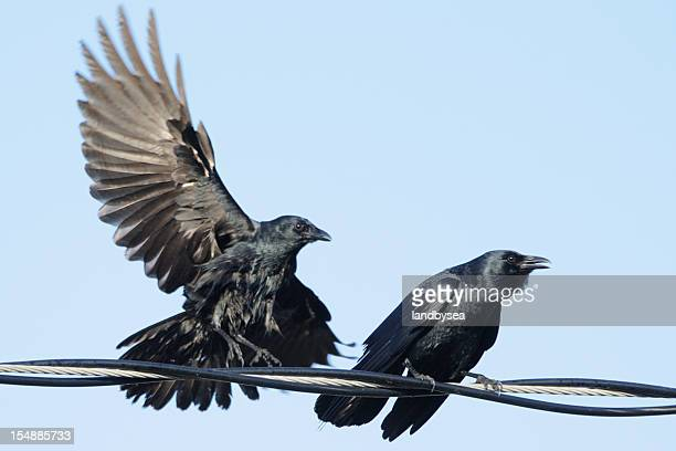 Pair of crows (Corvus ossifragus) on a wire