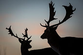A pair of deer in the early morning light look on in Richmond Park on January 17 2015 in London England A forecasted cold weather front is due to...